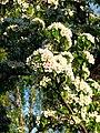 Pear blossom (Pyrus) 14.JPG
