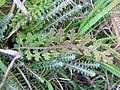 Pedicularis sylvatica blatt.jpeg