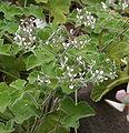 Pelargonium tomentosum 05.jpg