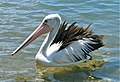 Pelecanus conspicillatus -Parsley Bay, Brooklyn, NSW, Australia -swimming-8.jpg