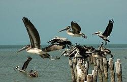 Pelicanos, Calkini, Playas, Campeche (16511091530).jpg