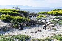 Penguins at Boulders Beach, Cape Town (6).jpg