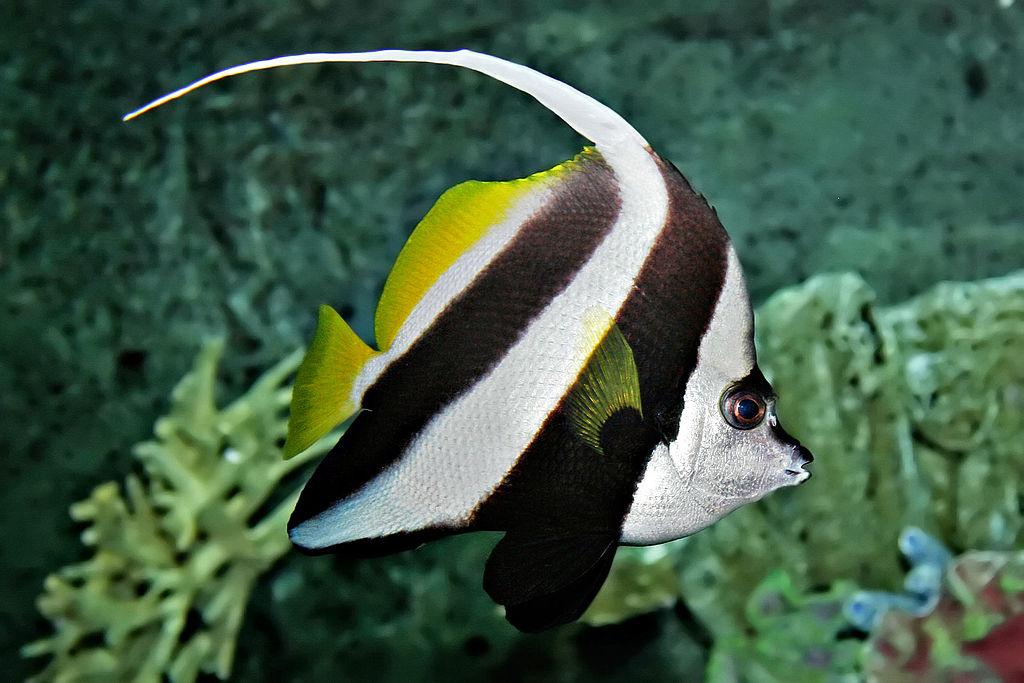 revision population poissons dans mon bac 1024px-Pennant_coralfish_melb_aquarium