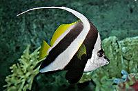 Pennant coralfish melb aquarium