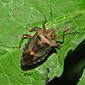 Pentatomidae - Pentatoma rufipes.JPG
