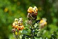 Peru - Cusco Trekking 004 - alpine flowers (7094762571).jpg