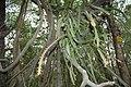 Pfeiffera monacantha150183180.jpg