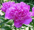 Pfingstrose - zart lila.jpg