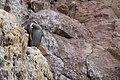 Phalacrocorax gaimardi -Patagonia-8 (1).jpg