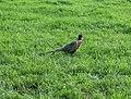 Pheasant - geograph.org.uk - 187363.jpg