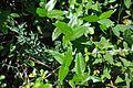 Phillyrea latifolia 1.jpg
