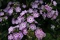 Phlox paniculata Katherine 1zz.jpg