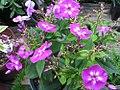 Phlox paniculata Laura 2zz.jpg