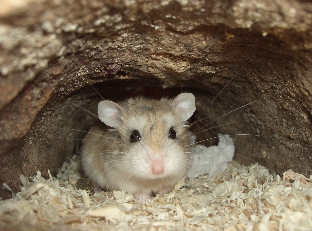 The average litter size of a Roborovski dwarf hamster is 6