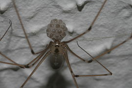Pholcus phalangioides with egg sac.jpg