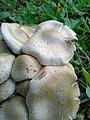 Pholiota gummosa 95748798.jpg