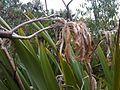 Phormium tenax - wetland 8.jpg