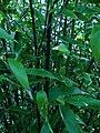 Phyllostachys Nigra.jpg