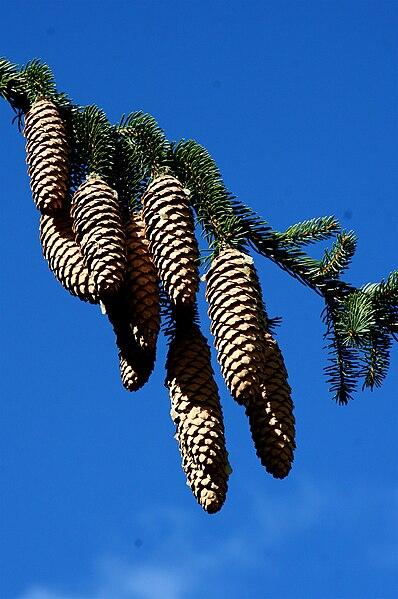 398px-Picea_abies_cones_Muffet.jpg