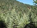 Picea asperata Huluhai.jpg