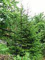 Picea orientalis (Doğu ladini).JPG