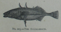 Picture Natural History - No 215 - The Stickleback.png