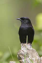 Pied Bush Chat.jpg