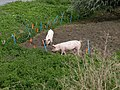 Pigs by the Cam - geograph.org.uk - 1448322.jpg