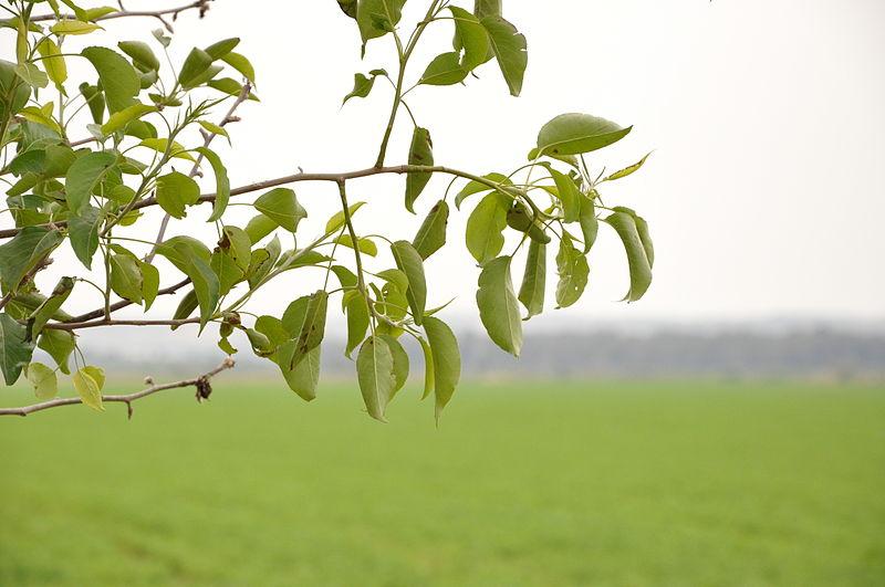עץ מאחורי ג'ת וצופה על העיר באקה