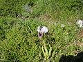 PikiWiki Israel 42165 Iris Bismarkia.jpg
