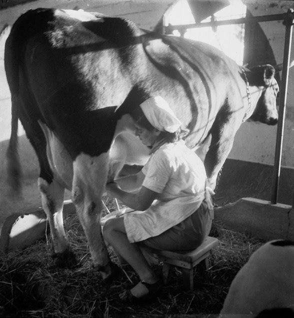 חליבת פרות