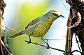 Pin-striped Tit-babbler Macronus gularis by Dr. Raju Kasambe DSC 5961 (65).jpg