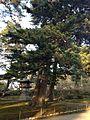Pine trees in Kenroku Garden 2.jpg