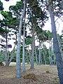 Pinus muricata trees Mendocino.jpg