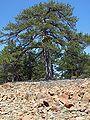Pinus nigra01.jpg