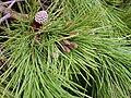 Pinus pinea Nedlesandcone 2010-3-07 DehesaBoyaldePuertollano.jpg