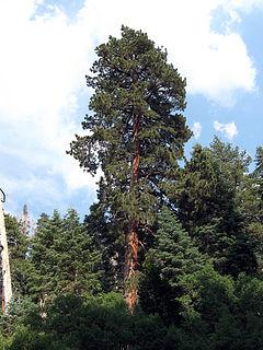 240px pinus ponderosa benthamiana san gorgonio