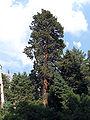 Pinus ponderosa benthamiana San Gorgonio.jpg