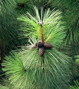 Pinus ponderosa subsp. ponderosa branch with cones