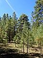 Pinus ponderosa subsp. brachyptera kz03.jpg