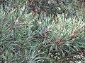 Pinus silvestrys - Beli bor (3).jpg