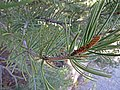 Pinyon pine - Flickr - andrey zharkikh.jpg