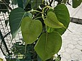 Pipal Leaf.jpg