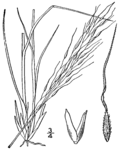 Piptatheropsis canadensis (as Stipa canadensis) BB-1913.png