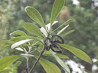 Pittosporum crassifolium2.jpg