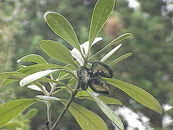 Pittosporum crassifolium2.jpg