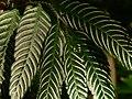Plant Fern P1120347 08.jpg