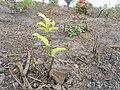 Plante poussant sur une surface brûlée.jpg