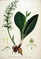 Platanthera chlorantha — Flora Batava — Volume v20.jpg