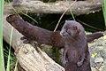 Playful mink.jpg